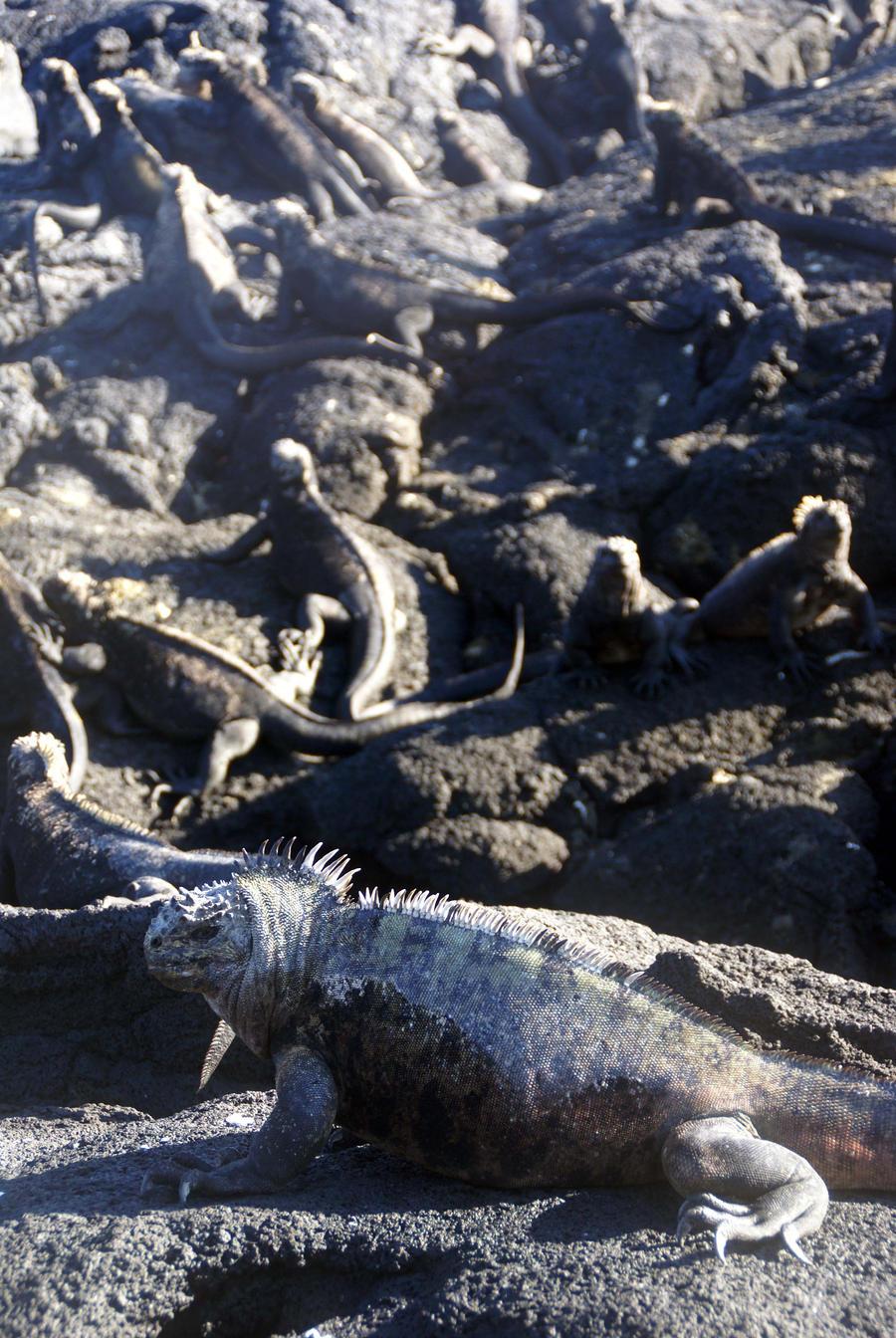 Galapagos Iguanafest by Art-by-Jilani