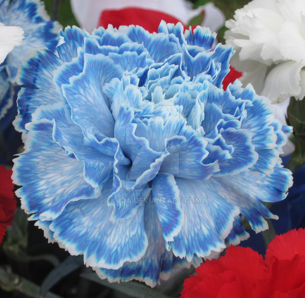 carnation chat What in carnation meaning follow  6 answers 6 report abuse are you sure you want to delete this answer  in carnation is a way to give the word further emphasis or a way to take.