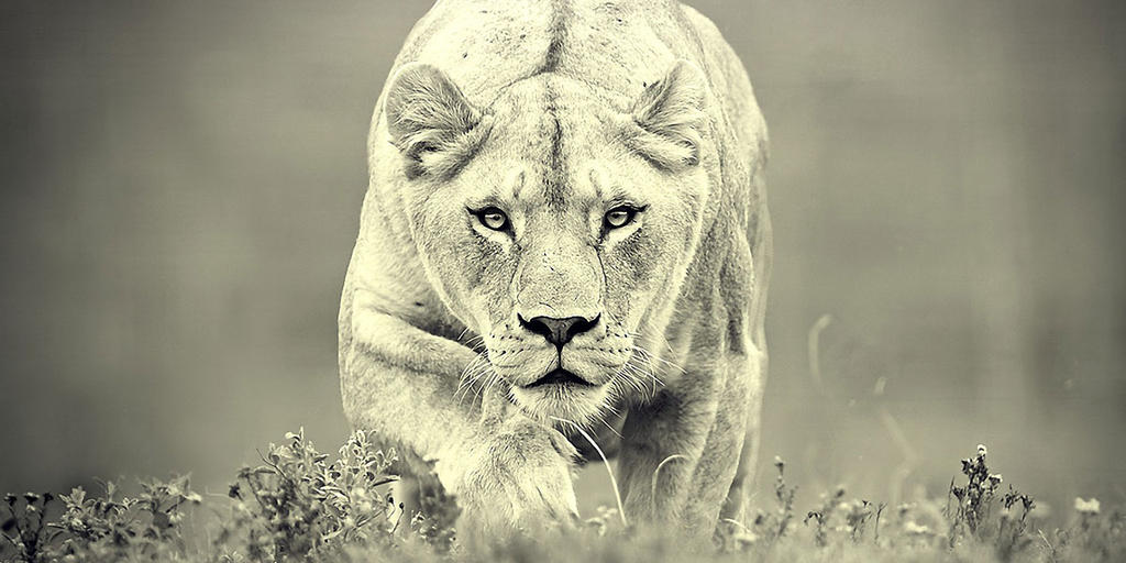 Nature Photography Lioness Large Yello Beautiful Angry Vicious Teeth Snarl