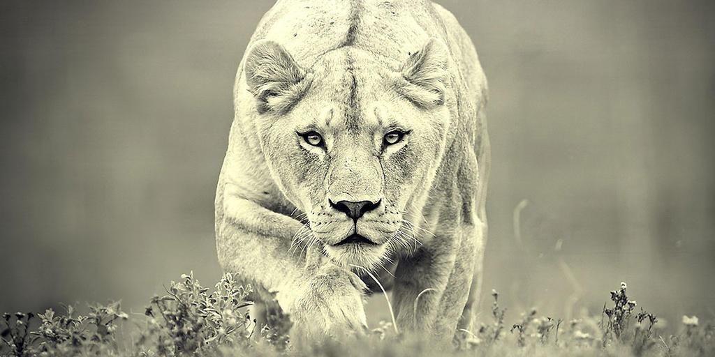 Nature Photography Lioness Large Yello Beautiful