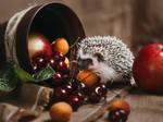 Gray baby hedgehog