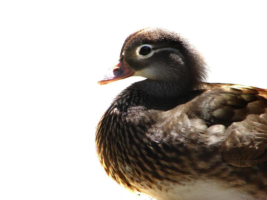 Ducky by TNAotC