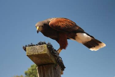 The Falcon by babynuke