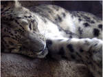 Sleeping Snow Leopard