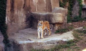 .Tiger. by Sugargrl14