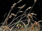 Phalaris arundinacea by Telais