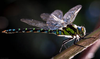 Gorgeous Dragonfly. by LU-Robyn