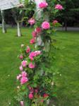 Climbing Roses Stock