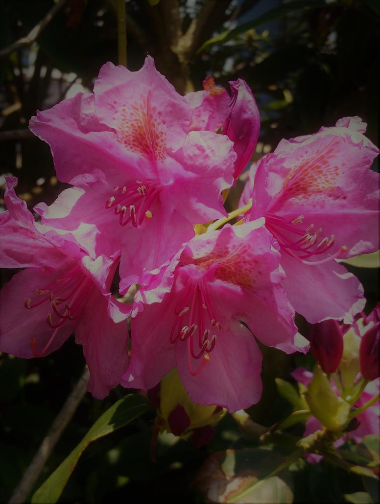 Azalea Flowers with filter by Dragonmyth123