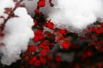 Red Berries Of Winter
