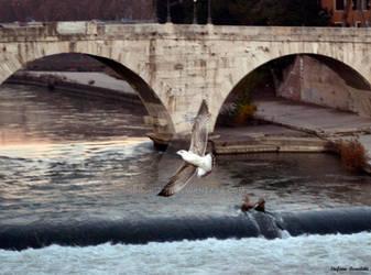 Seagull flies on the Tiber Island - Rome