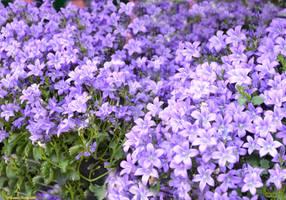 Flowering - Distesa di fiori 02