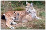 Lynx nursing