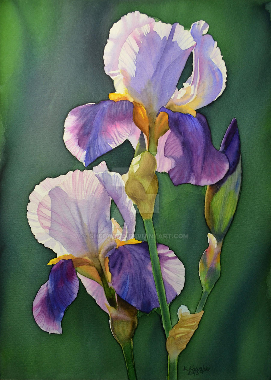 Purple iris by Shelter85