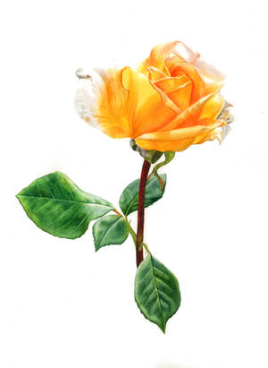 Yellow Rose by Esperoart