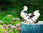 The Indian Fantail Pigeon