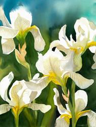 White irises by Shelter85