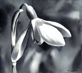 Snowdrop monochrome by Shelter85