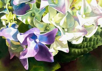 Hydrangea by Shelter85