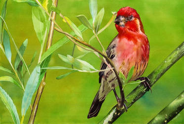 Red Finch by Shelter85