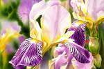 Amethyst Iris by Esperoart