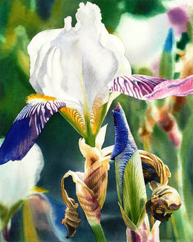 Translucent Iris