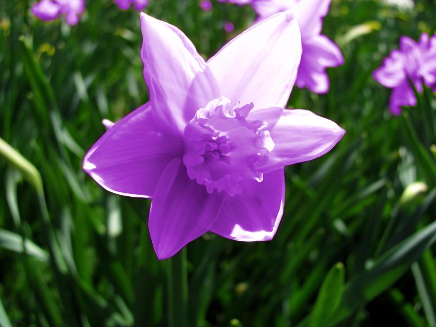 Flor del dia: narciso 2