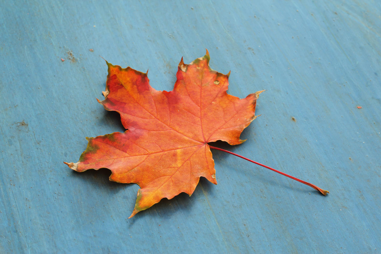 Maple leaf by mangorielle