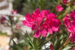 Flower Oleandr