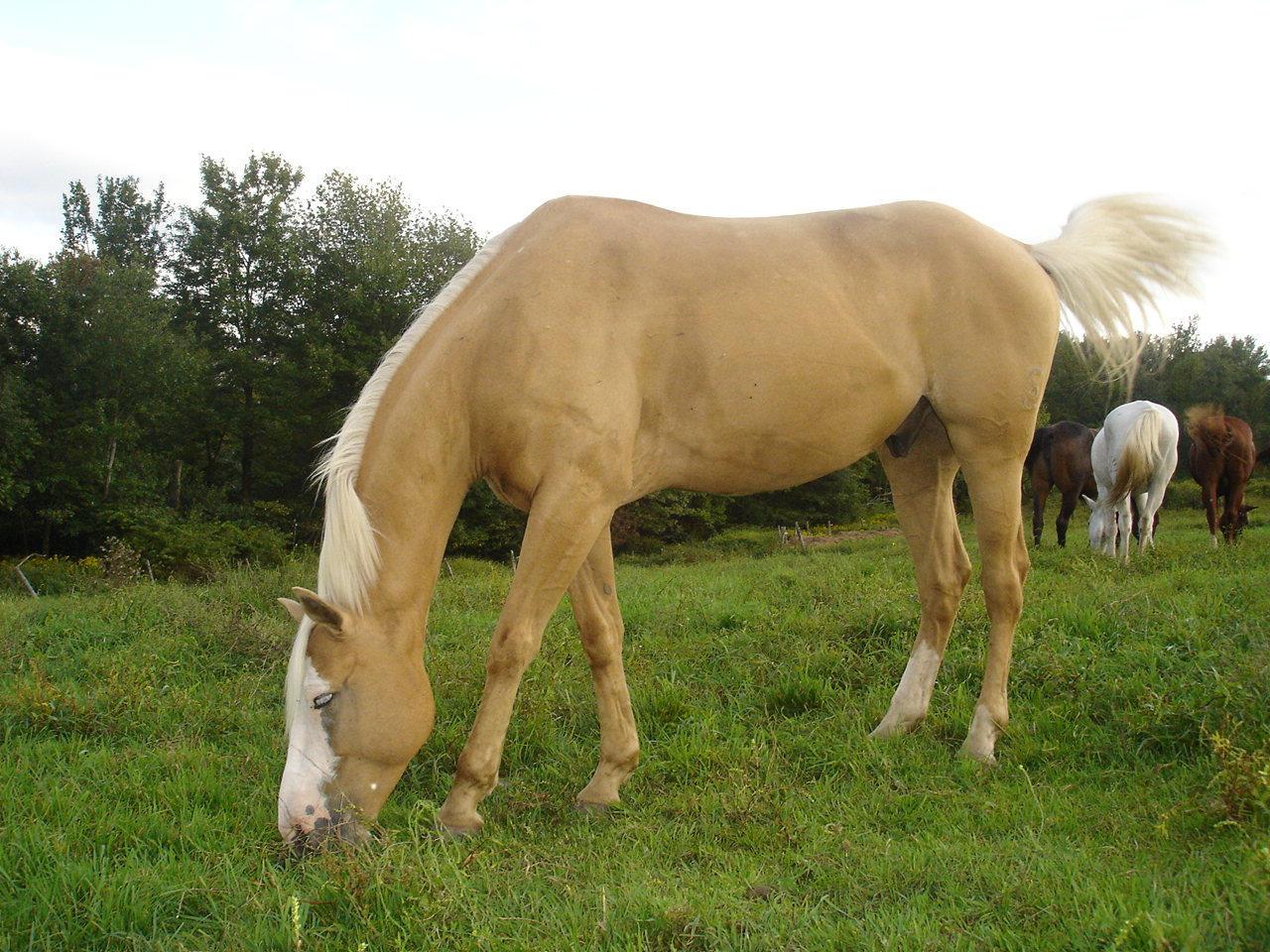 Palomino horse 4 by Ni...