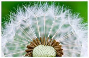 Dandelion by zuckerblau
