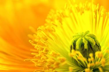 Poppy Blossom by zuckerblau