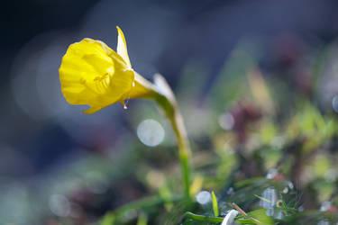 Narcissus bulbocodium by PauloALopes