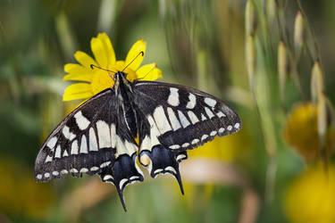 Papilio machaon by PauloALopes