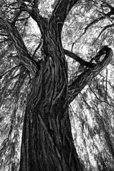 Salix babylonica by PauloALopes