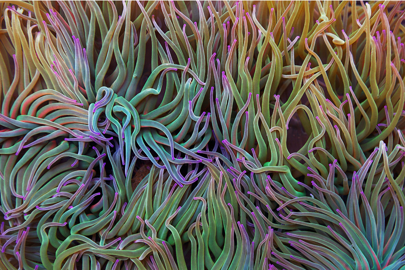Sea anemone by PauloALopes
