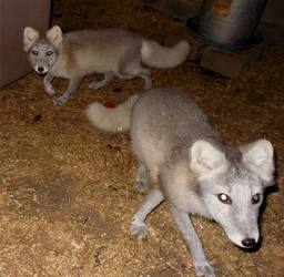 Arctic Fox Kits 3as