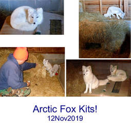 Arctic Fox Kits Collage