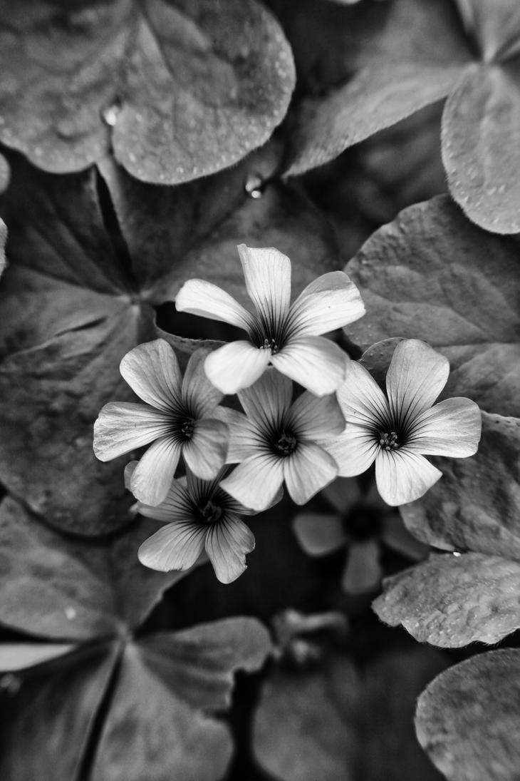 black and white flower picture hd desktop uhd 4k mobile - Black And White Flowers