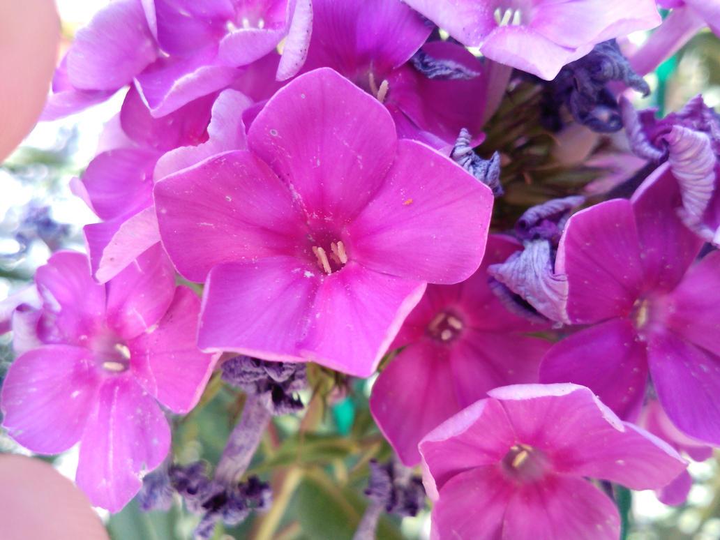 Purple flowers by Sibilmor
