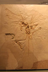 Archaeopteryx at the Chicago Field Museum by Melusine-Designs