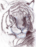 Tiger study 1 rw-sketch