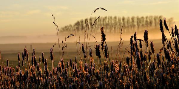 Lavender Fields by cfoto