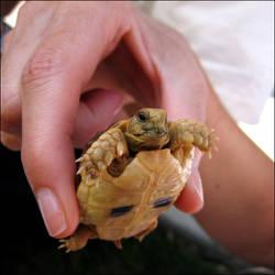 Baby Egyptian Tortoise by eeron