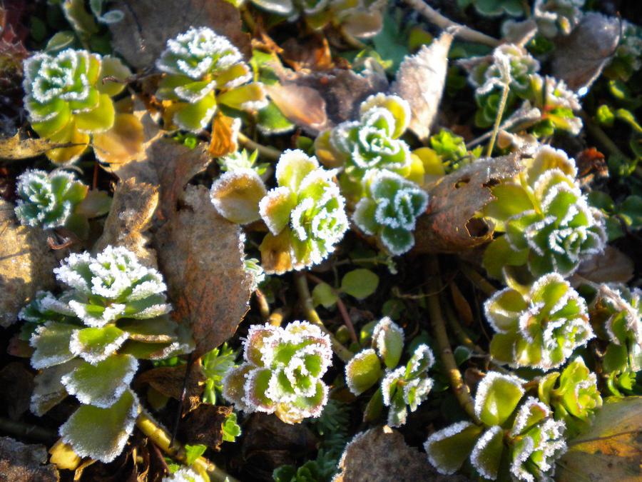 Frosty Plant by Jurv
