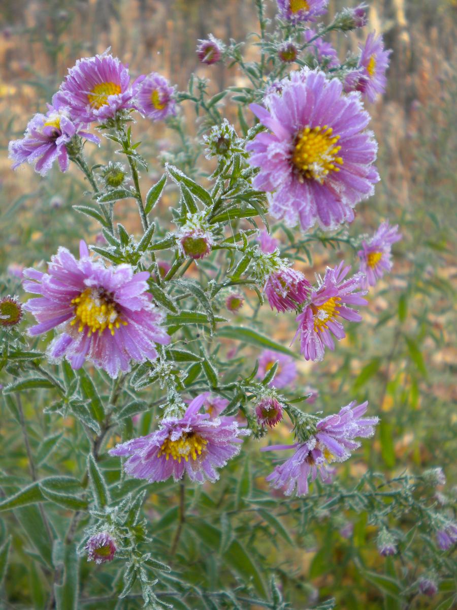 Frosty chrysanthemum II by Jurv