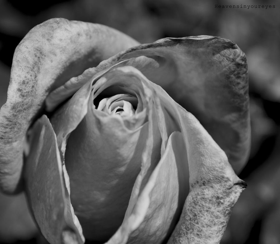 Black widow. by Heavensinyoureyes