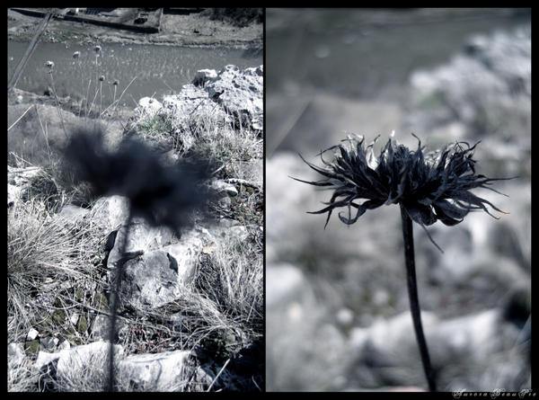 Dead_flower_by_AuroraBeauPre.jpg