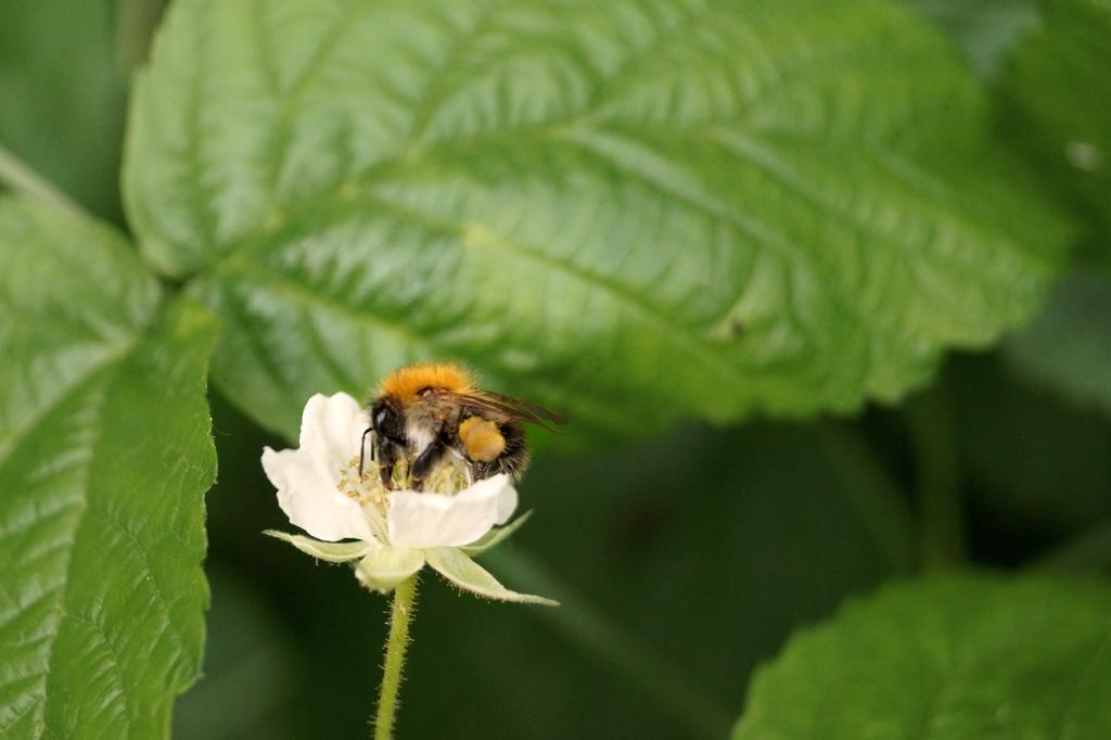 Bee 1 by Valeaves