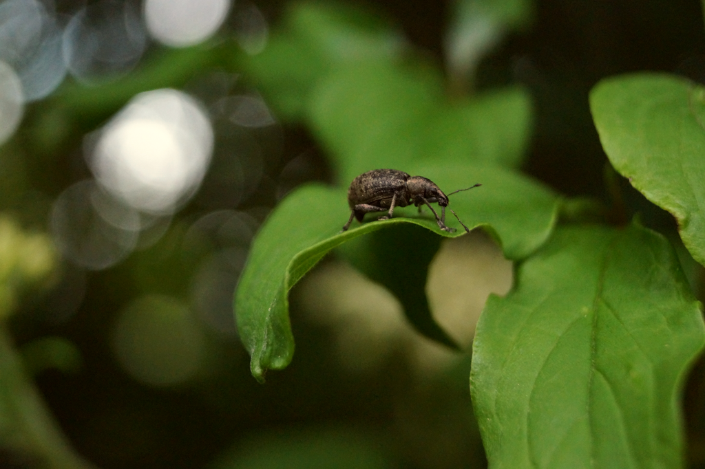 Beetle 1 by Valeaves
